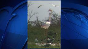 escaped-flamingo