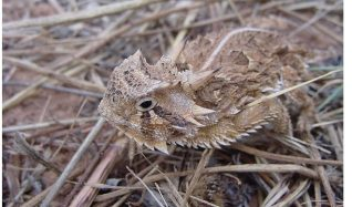 Texas-Horned-Lizard-660x390